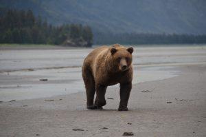 Grizzly, der urplötzlich hinter uns auftaucht …