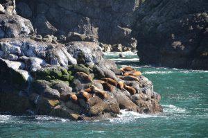 Steller´s Sea Lions