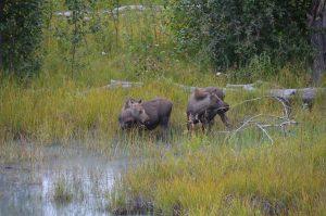 Zwei verstörte Elch-Kälber, die offenbar ihre Mutter verloren haben