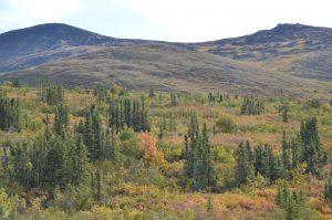 Herbstliche Farben am Taylor Highway
