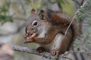 Squirrel am Ufer des Yukon