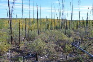 Durch Großfeuer von 1998 verbranntes Gelände am Fox Lake