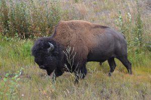 Wood Buffalo Bull (1)