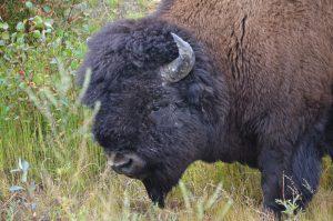 Wood Buffalo Bull (2)