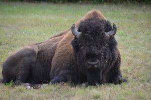 Wood Buffalo Bull (3)