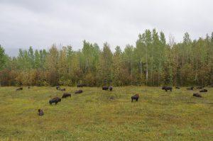 Bisonherde unmittelbar neben dem Alaska Highway