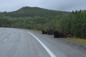 Am Straßenrand lagernde Bisons
