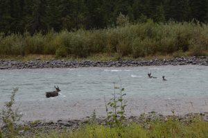 Drei Karibus durchqueren reißenden Fluss.
