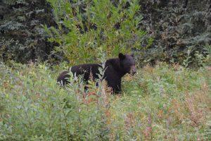 Schwarzbär am Rand des Alaska Highways