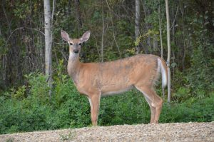 Deer im Young´s Point Provincial Park