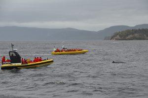 Von zwei Zodiacs begleiteter Minke-Wal