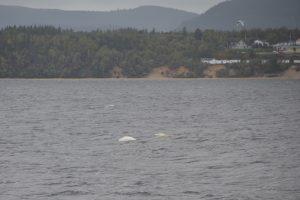 Belugas vor der Mündung des Fjord-du-Saguenay