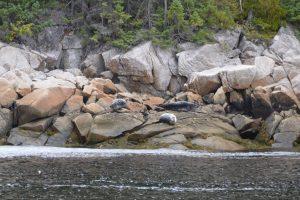 Sich ausruhende Robben im Fjord-du-Saguenay