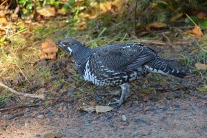 Spruce Grouse oder Tannenhuhn im Cape Breton Highlands National Park